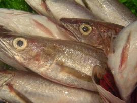 lluc-pescadilla-pijota - Pescados Carmen – Pescado Fresco y Marisco - Palma de Mallorca